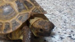 La tartaruga Neglia